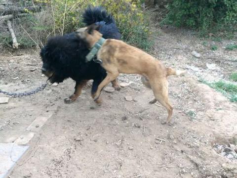 狗狗发现藏獒被拴着,大着胆子上前挑衅,结果却惨遭打脸!