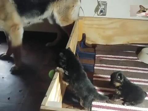 德牧妈妈看着两个闹腾的小宝宝,嘤嘤的叫个不停,烦死了
