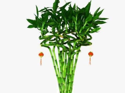 """春节适合养2种花,摆在客厅""""1红1绿"""",喜庆又美观"""