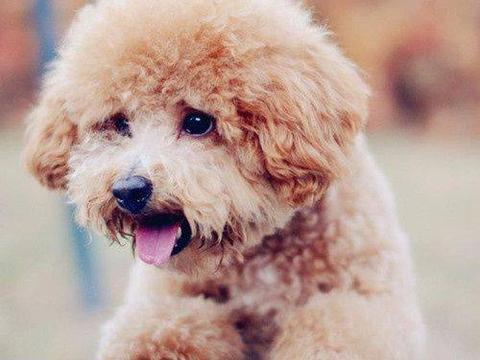 盘点最受欢迎的几种狗,第一名居然不是泰迪