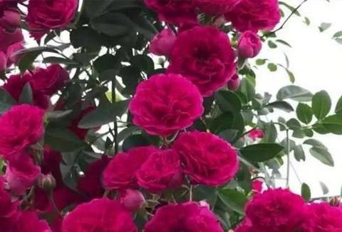 此花长得快开花多,一年四季有花赏,花香十足花型美!