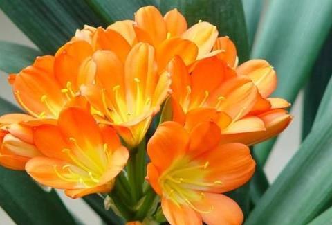 君子兰不开花?捡点东西垫盆底,叶子油绿有纹路,开花漂亮