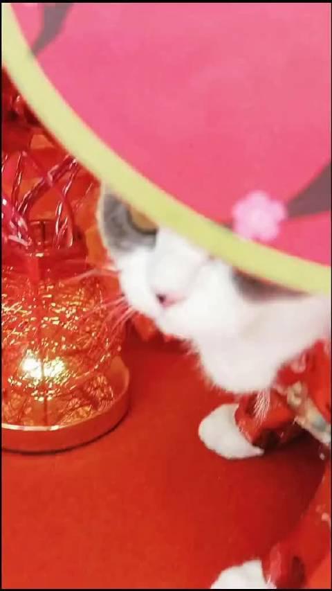 花猫超炫出场方式,要举行中式婚礼吗?