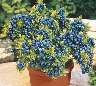 阳台别光养花,种一盆蓝莓,果子结一串,邻居看了都羡慕!
