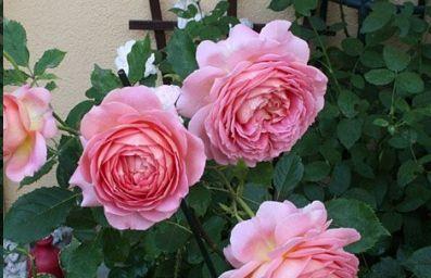 阳台养花选它,颜值不输玫瑰,花香浓郁,四季开花,值得拥有!