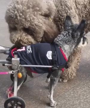狗狗后脚残疾,主人装上新轮椅,泰迪看着都很稀罕!