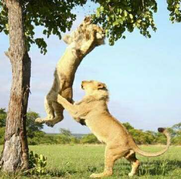 狮子玩荡秋千,卡树上不能动,底下小伙伴看着心急如焚