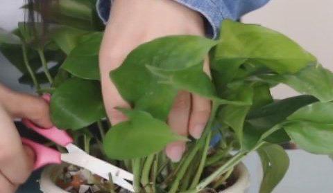 绿萝有个小开关,及时打开,新叶新芽一起长,30天准爆盆!