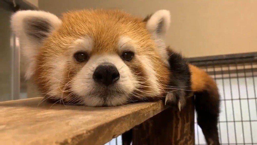 没想到小熊猫怼脸拍都这么可爱…………