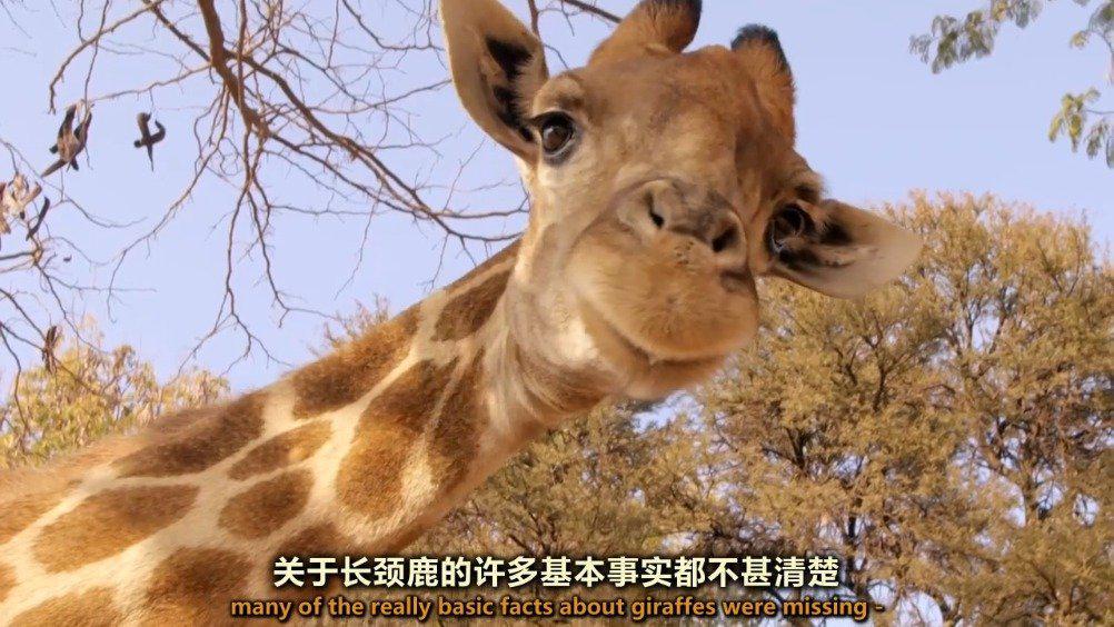 自然世界 长颈鹿:非洲温和巨物 之 出人意料的长颈鹿