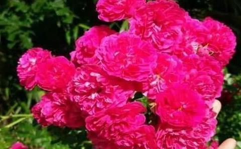 阳台养一盆爬藤花,花色艳丽,花香浓郁,邻居看了都羡慕!