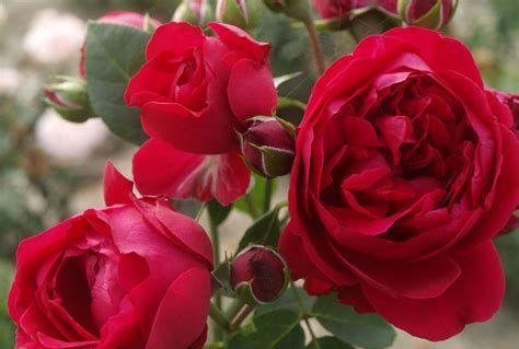 此藤本月季耐热又耐寒,一年四季都开花,花量大易爆盆