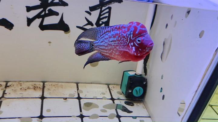 为什么只有一个罗汉鱼缸的水质,出现了黑毛藻,原因在哪里?