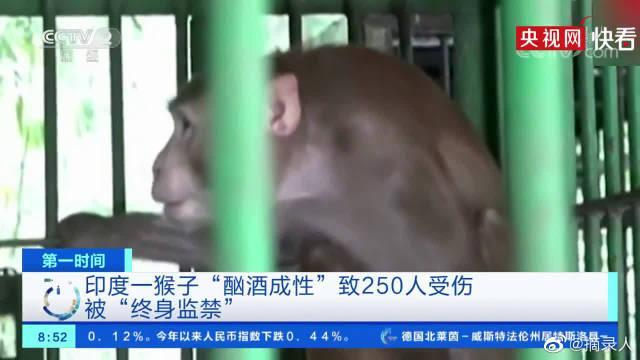 印度一猴子酗酒成性被终身监禁