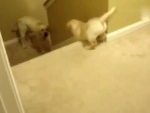 小拉布拉多不敢下楼时,看看狗妈妈是怎么做的?