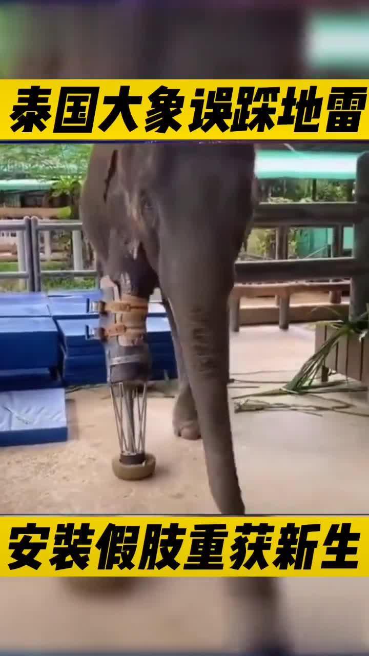 泰国清迈,因为误踩泰缅边境地雷的大象Mosha被安装上了假肢…………