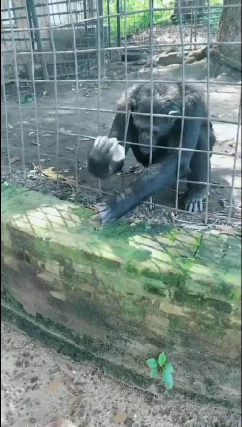 猴子届的《肖申克的救赎》,一只是梦想成为安迪的猴子!