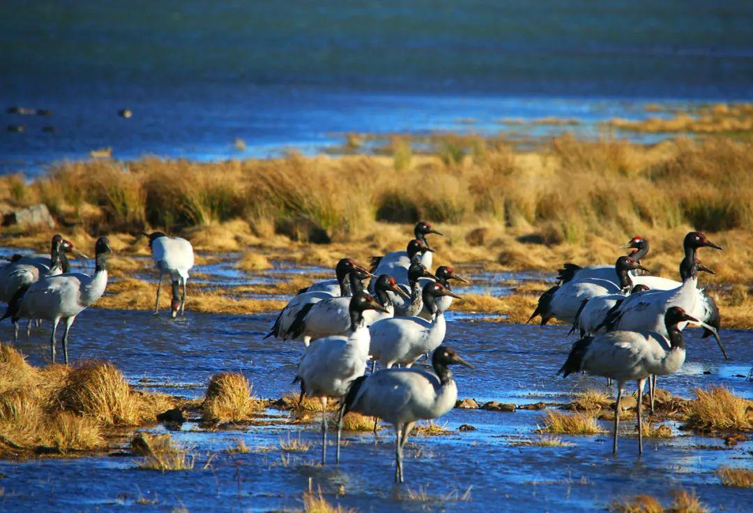 【探索】占全球六分之一!昭通大山包越冬黑颈鹤数量再创历史新高图片