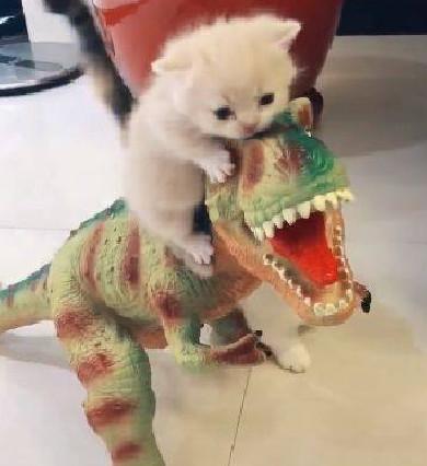 小奶猫第一次骑恐龙 兴奋得喵喵叫 猫妈妈在一旁操碎了心给我下来