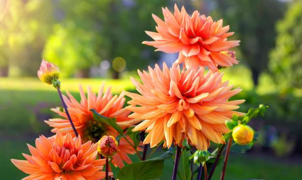 天冷了,该怎么存大丽花种球?摸清这些,来年开春就冒嫩芽新叶