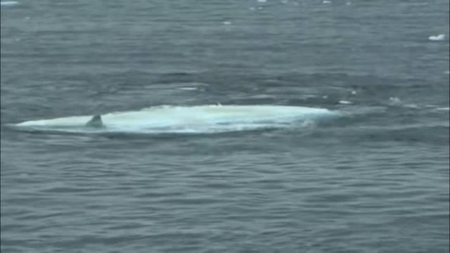 海豹正在冰块呼呼大睡,没有发现自己被三条虎鲸盯上了