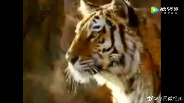 万兽之王老虎,老虎在,狮子只能靠边站