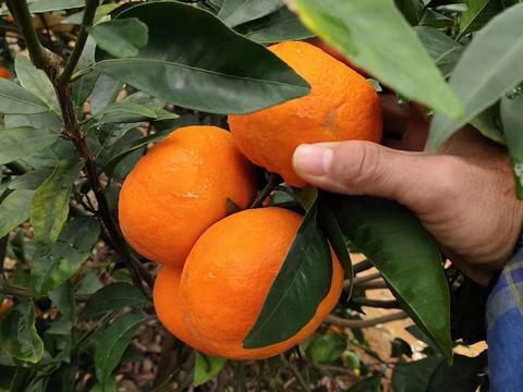 柑橘果园土壤退化,冬季是土壤养护的关键期,果农如何管理?
