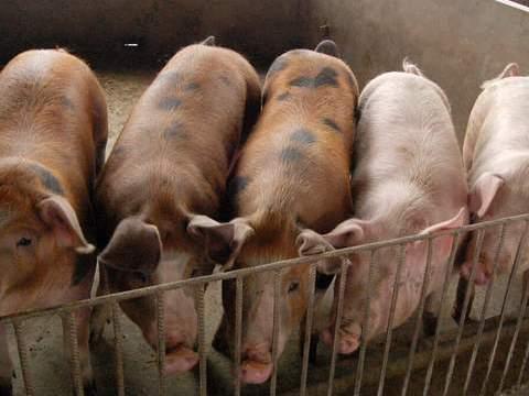 """冬季猪流感流行,猪场周边种上2种""""草"""",3天喂一次感冒不来找"""
