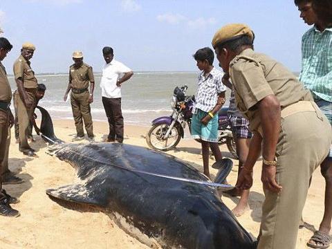 近100鲸鱼冲上沙滩群体自杀,当地居民纷纷展开营救!