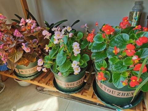 养四季海棠有3重点,半年开成花球,一年四季不停开花