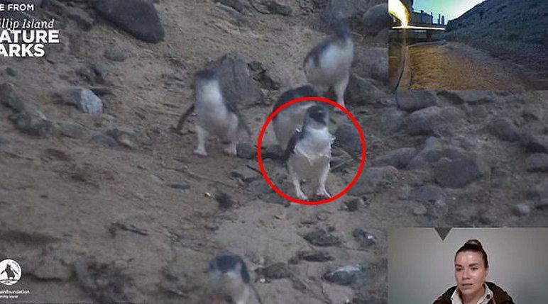 澳护林员直播时发现一只企鹅被塑料环缠住脖子