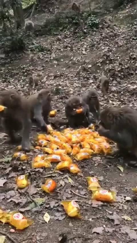 一堆面包几秒就没了,还有一个都没抢到的小猴子824
