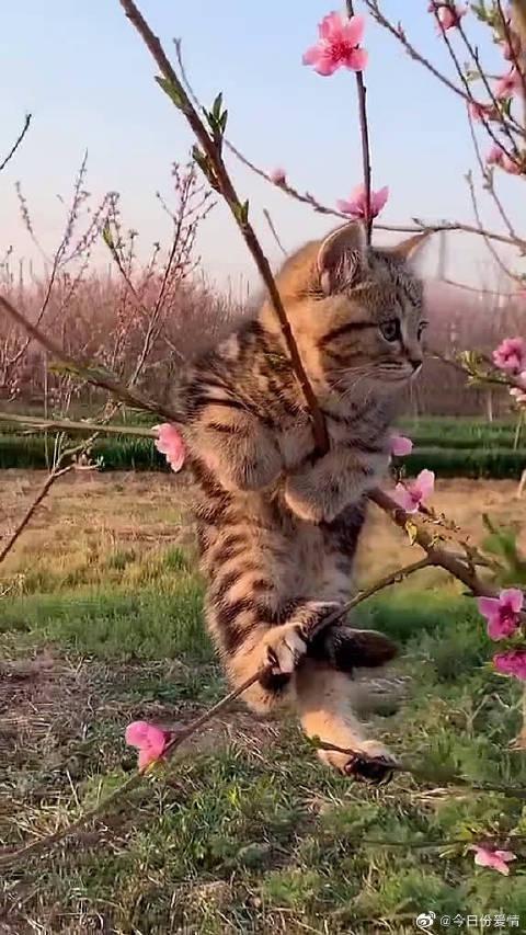 传说中的一只狸花压海棠吧!