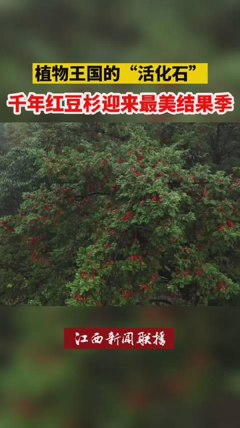 目前,这棵红豆杉被列为古树名木保护范围,由专人进行管护