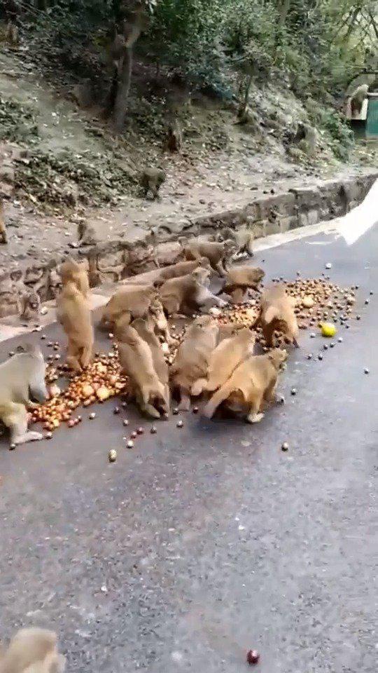 兄弟们开饭了,猴哥吃得好欢啊