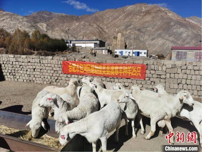 安徽援助西藏一批澳寒种羊 助力当地畜牧业发展