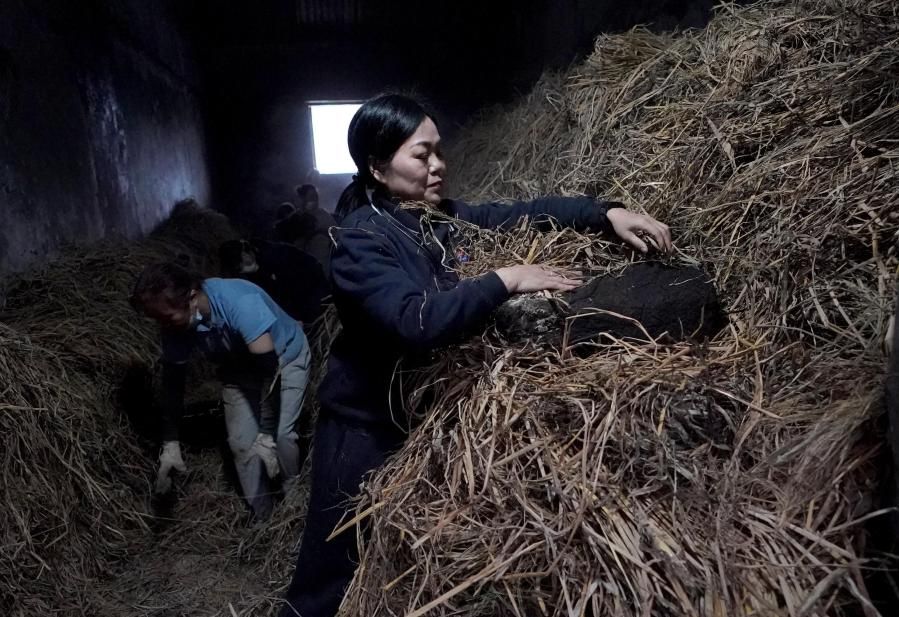Expert Ren Jinsu checks the condition of yeast at a fermentation workshop of a distillery in Maotai town of Renhuai, southwest China's Guizhou Province, Nov. 28, 2020. Maotai is a small town in Renhuai City in mountainous Guizhou. What distinguishes it from other towns is that it produces a famous brand of Chinese liquor Moutai. The spirit, made from sorghum and wheat, takes up to one year for the whole production process, involving nine times of steaming, eight times of fermentation and seven times of distillation, before aged in clay pots. (Xinhua/Wang Yuguo)