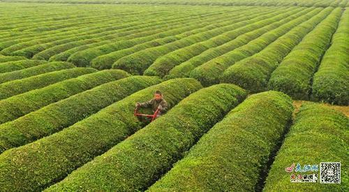 泰和:生态茶园管护忙(图)