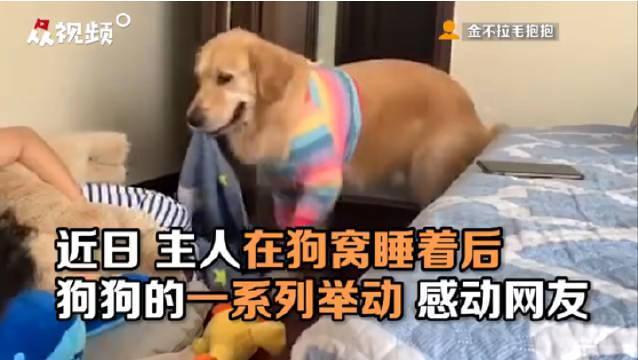 天使狗狗!贴心狗狗为睡觉的主人盖被
