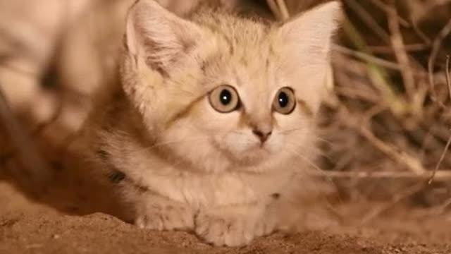 """可爱又稀有的野生""""沙丘猫幼崽""""好奇的望着镜头……"""