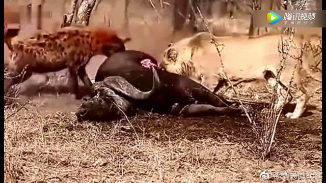 两只狮子与鬣狗抢野牛,竟然不知死亡来临