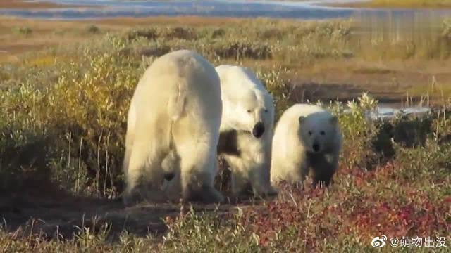 狭路相逢,为了保护幼崽两只雌性北极熊大打出手