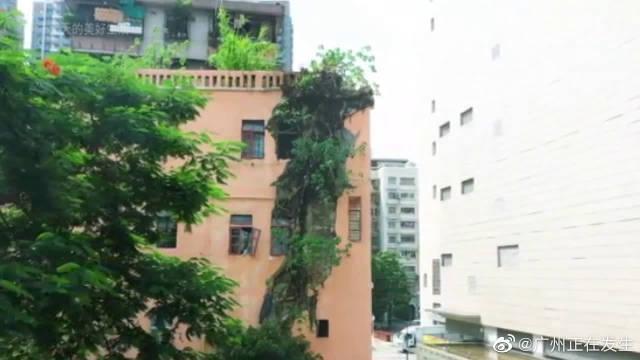 广州一榕树根从4楼一直长到1楼,破坏了整栋大楼……