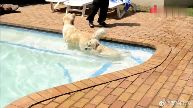 小金毛跟妈妈到泳池游泳,半天不敢下水