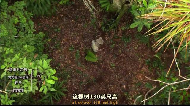40米高的大树底部住着隐秘的昆虫家族!