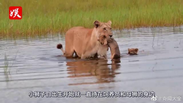 雄狮第一次见到幼崽,表现让人意想不到,镜头拍下全过程!