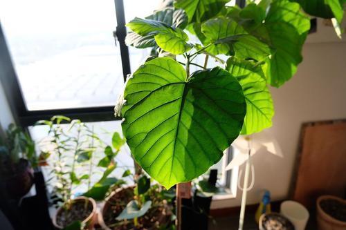 3种观赏榕树长得像,想养在客厅注意这几点,四季常绿高大有型