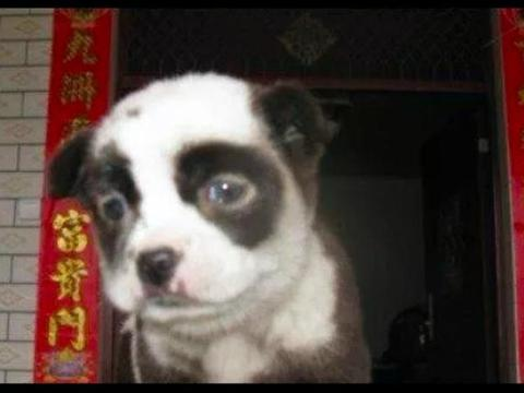 """路边捡到只""""熊猫狗"""",洗完澡后就褪色了,女子瞬间哭笑不得!"""