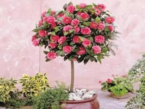 寒冬在室内盆栽茶花,没做好5大要素,植株分分钟进入休眠期