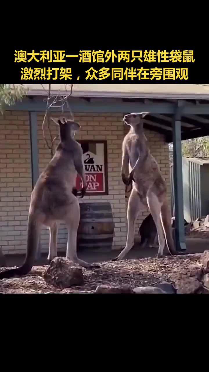 澳大利亚两袋鼠激烈斗殴争伴侣,同伴在一旁围观